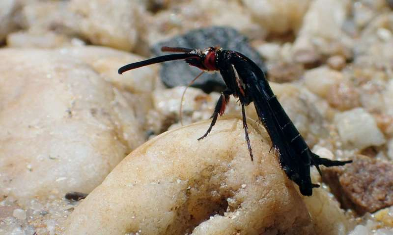 Rare footage of a new clearwing moth species from Malaysia reveals its behavior
