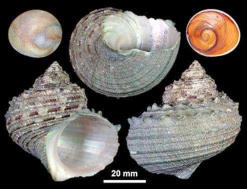 Reassessing nomenclature for 'horned turban' snail