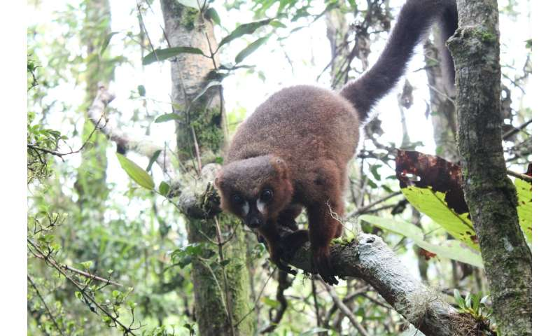 Red-bellied lemurs maintain gut health through touching and 'huddling' each other