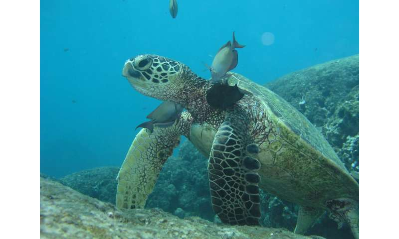 Reptile skin grown in lab for first time, helps study endangered turtle disease