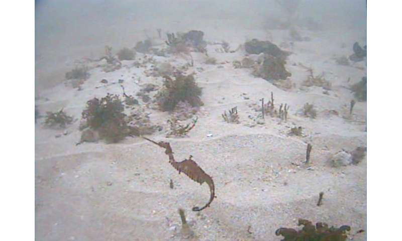 Researchers capture first glimpse of ruby seadragons in the wild