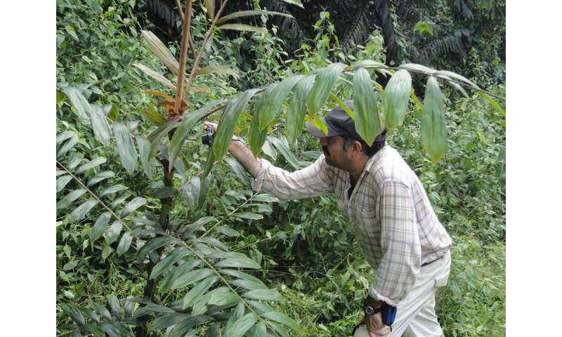 Robust rattan palm assessed as Endangered, new Species Conservation Profile shows