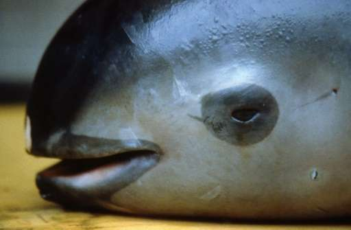 Scientists say there are only about 30 vaquita porpoises left