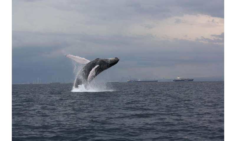 Scientists tag humpback whales in southeast Pacific