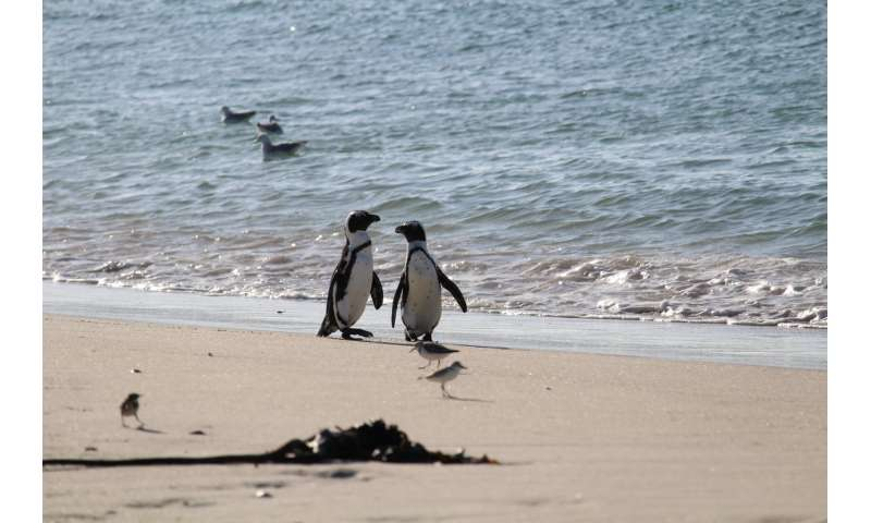Scientists team up on study to save endangered African Penguins