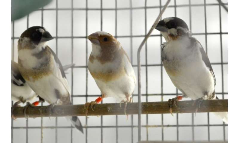 Social interactions override genetics when birds learn new songs
