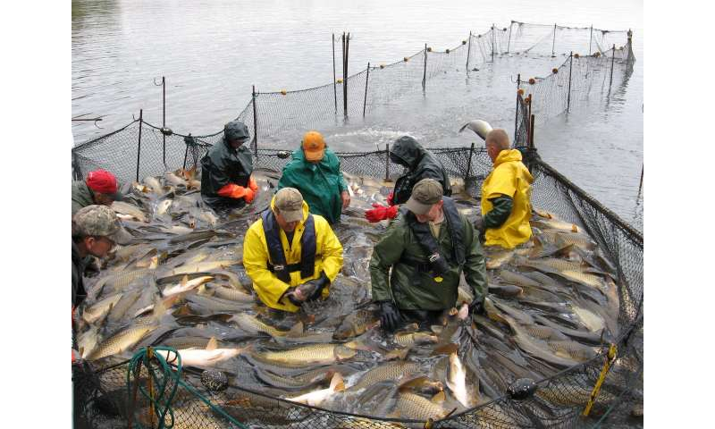 Statistical modeling helps fisheries managers remove invasive species