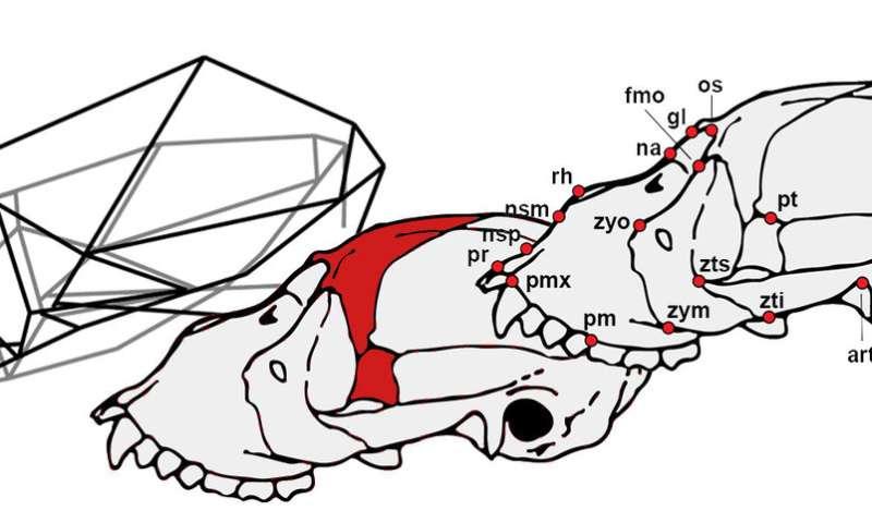Study analyzes the peculiar cranial anatomy of howler monkeys