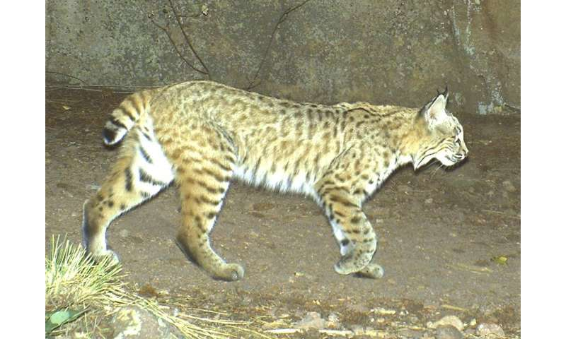 Study sheds new light on extinction risk in mammals