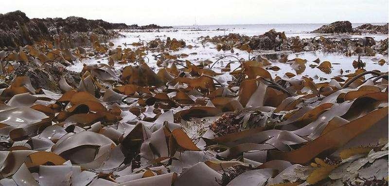 Study shows seaweed succumbs to viruses
