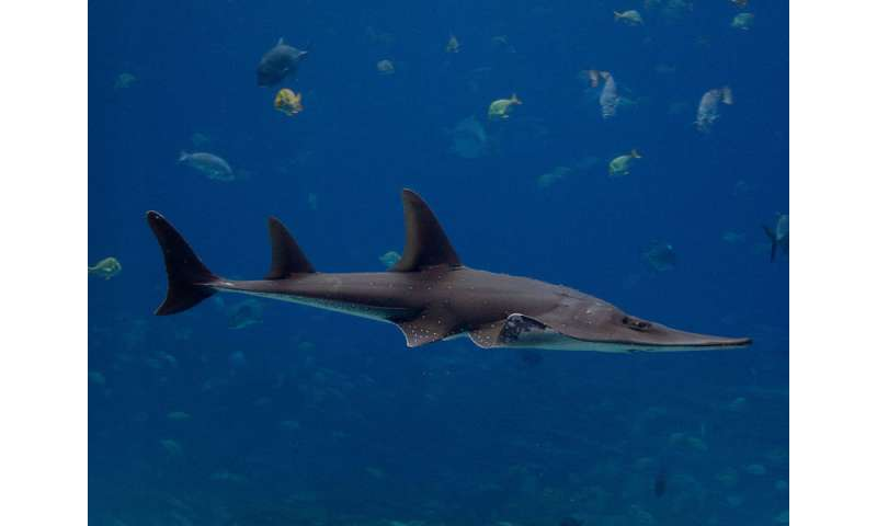 The dentition of the wedgefish appears designed to crush shellfish, but it also eats stingrays