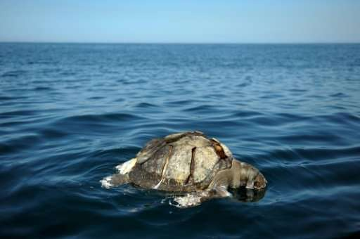 The discovery of dead sea turtles in November 2017 recalled a similar find in 2013, between September and October, when hundreds