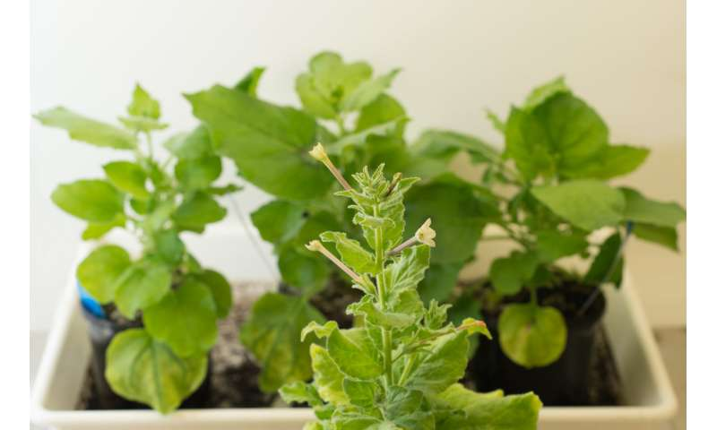 Tobacco plants as life-savers