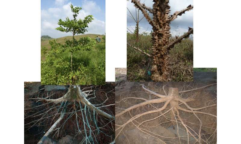 Tropical tree roots represent an underappreciated carbon pool