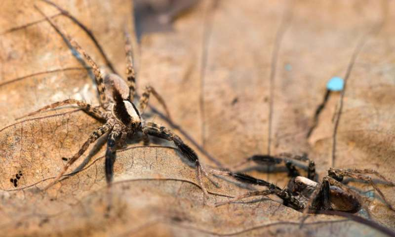 UC biologists find surprising variability in courtship behaviors of wolf spiders