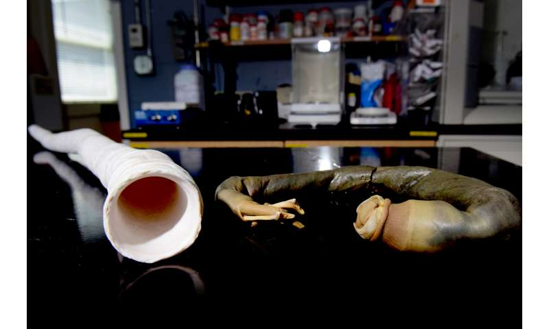 'Unicorn' shipworm could reveal clues about human medicine and bacterial infections