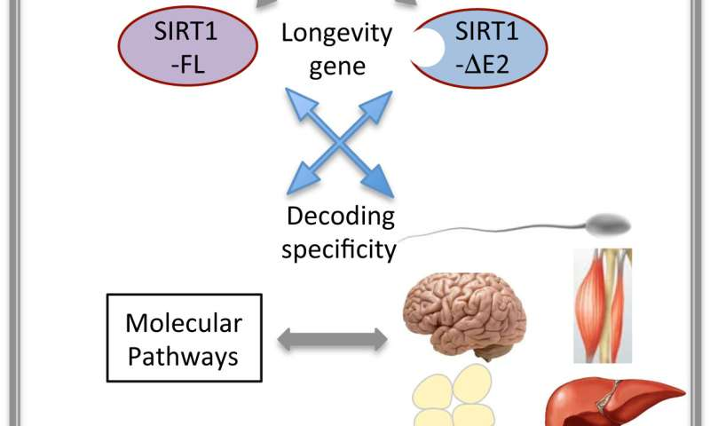 Unraveling the functional diversity of longevity gene SIRT1
