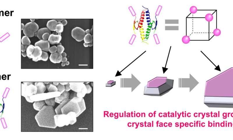 Utilizing tumor suppressor proteins to shape nanomaterials