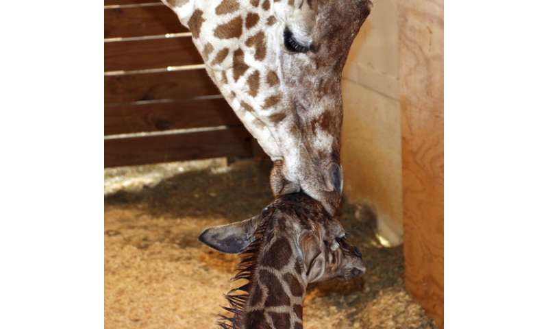 Wait is over for April the giraffe, YouTube star and new mom