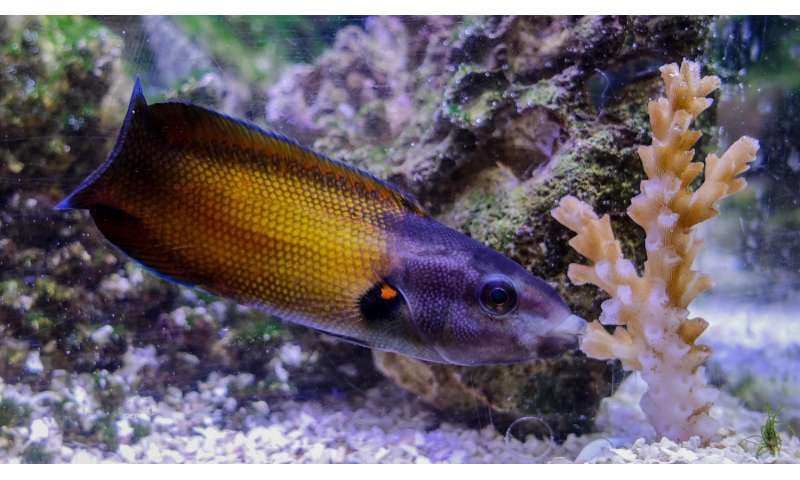 With specialized lips, these fish dine on razor-sharp, stinging corals