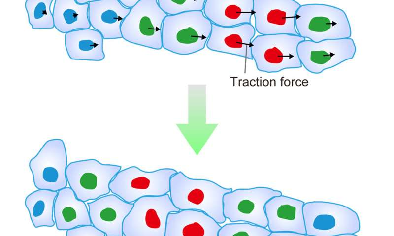 Discovery of a mechanism for determining the direction of collective cell migration