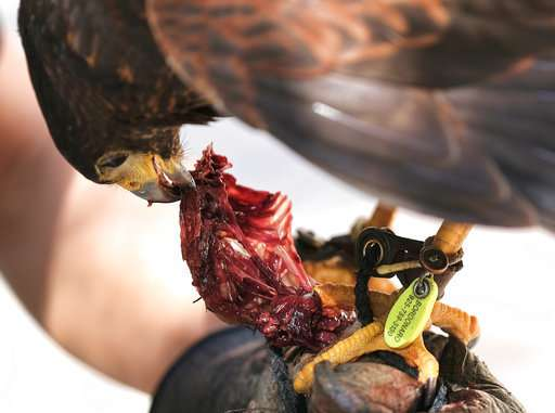 Trained hawks scare off smaller birds, draw stares in LA