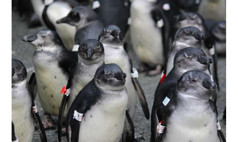 Climate change and fishing create 'trap' for penguins