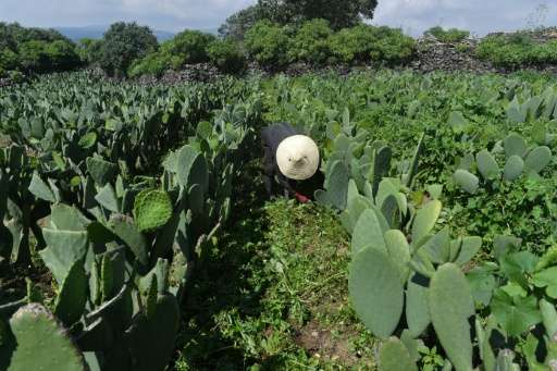 Scientists have come up with a new use for the bright green prickly pear cactus: producing renewable energy