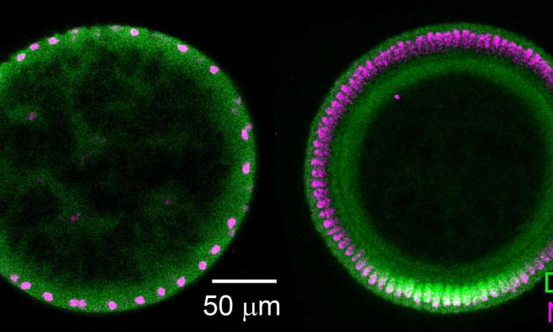 Researchers find diffusion plays unusual signaling role in drosophila embryos
