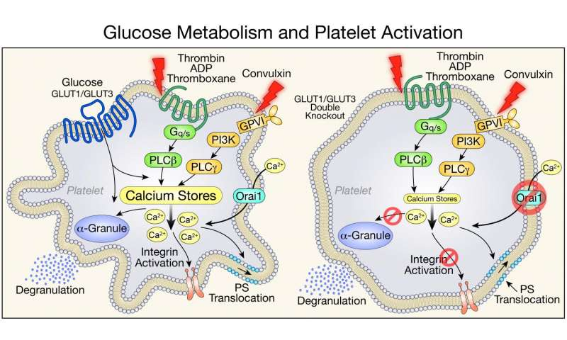 Study identifies multiple roles of glucose metabolism in platelet activation and survival