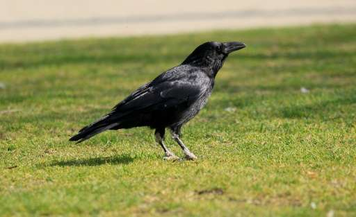 Researchers have discovered that ravens are able to plan ahead, and to use their skills in planning for tool use and trading