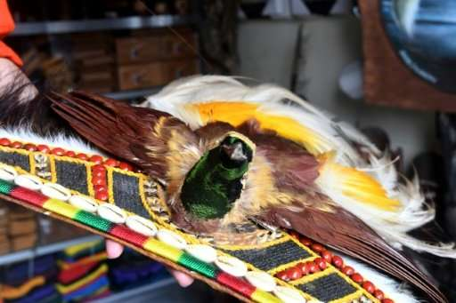 Environmentalists in Indonesia say the the illegal trade birds-of-paradise, which are often killed, dried and turned into orname