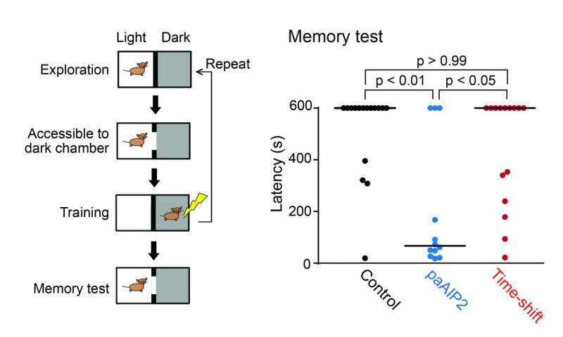 Scientists develop light-controllable tool to study CaMKII kinetics in learning and memory