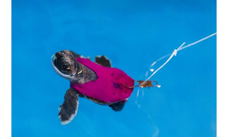 Conservation study uses tiny treadmills to test sea turtle hatchling stamina