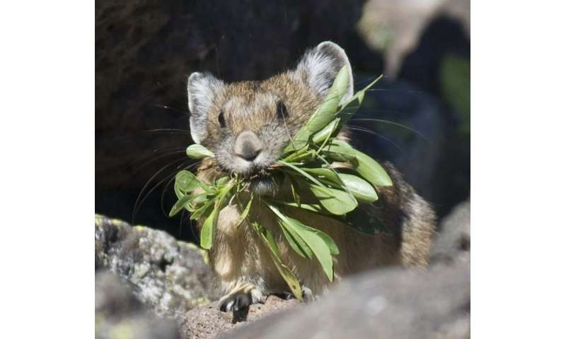 American pika disappears from large area of California's Sierra Nevada mountains