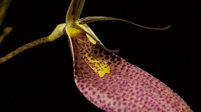 Andean orchids – not so ancient
