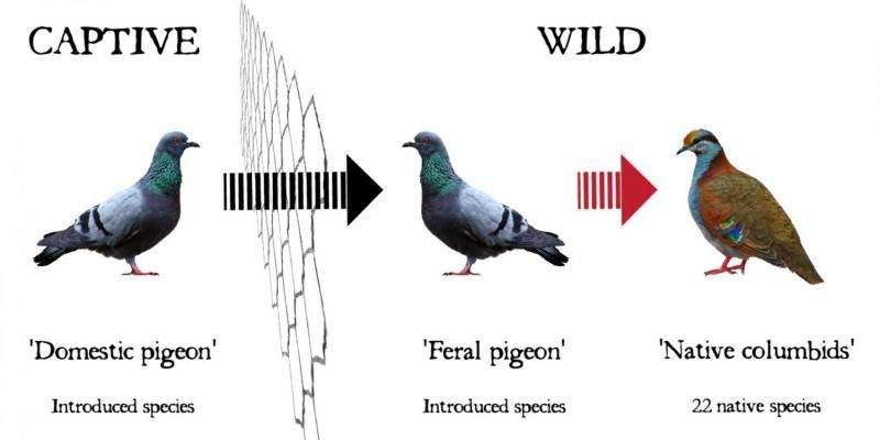 Are Australia's native pigeons sitting ducks?