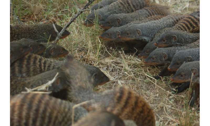 Banded mongooses go to war over sex and territory