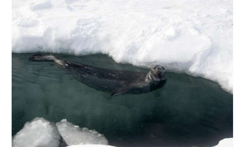 Century-old seal pelts reveal changes in Ross Sea ecosystem