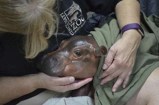 Cincinnati Zoo says premature hippo calf shows progress