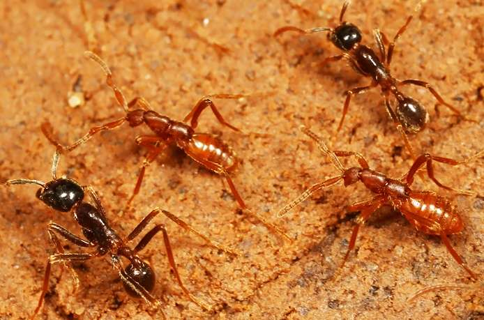 Convergent con artists: How rove beetles keep evolving into army ant parasites