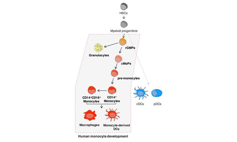 Discovery of human blood cell destinies revises knowledge of immune cell development