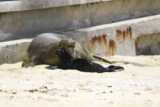 Endangered Hawaiian monk seal gives birth on Waikiki beach