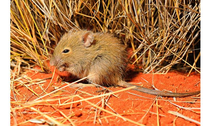 Feral animals pose major threat to Outback, climate change study finds