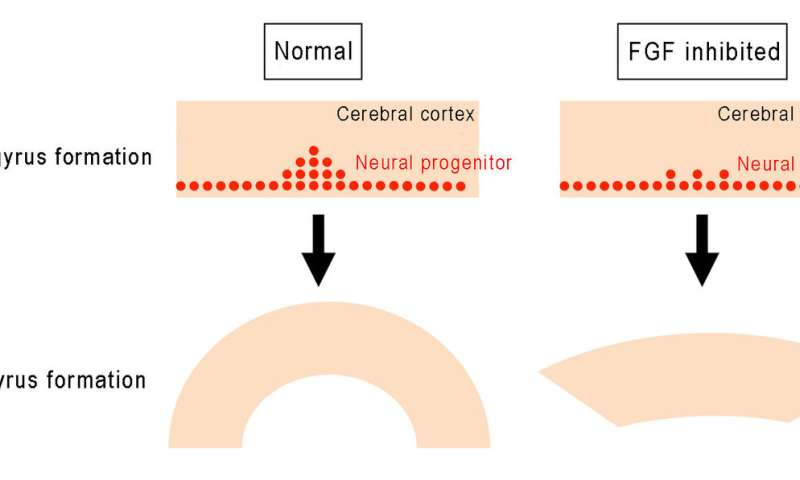 Fold formation of the cerebral cortex requires FGF signaling in the mammalian brain