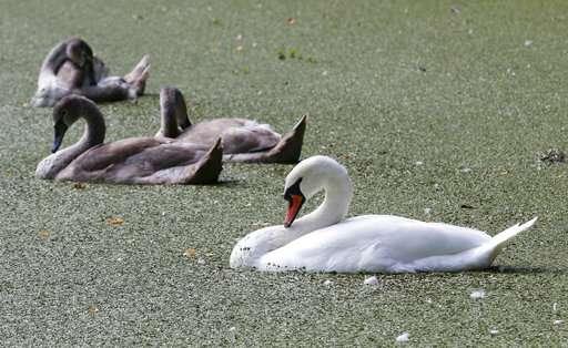 Graceful menace: States take aim at non-native swans