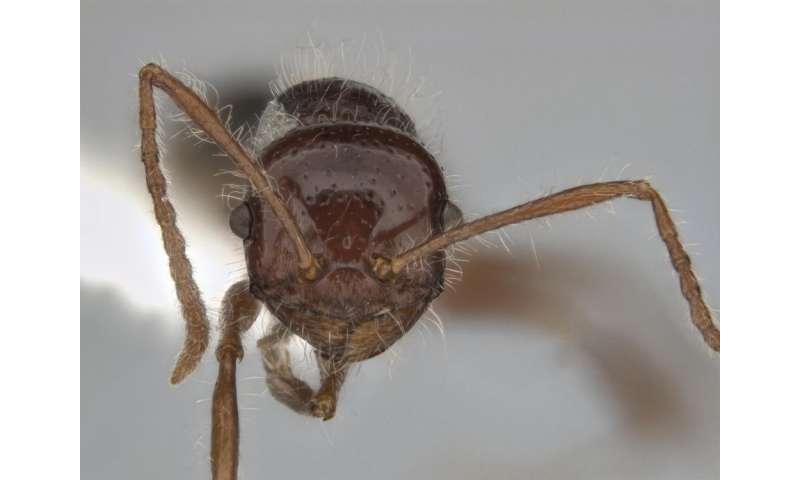 Heat-loving Australian ants believe in diversity, hint 74 species new to science