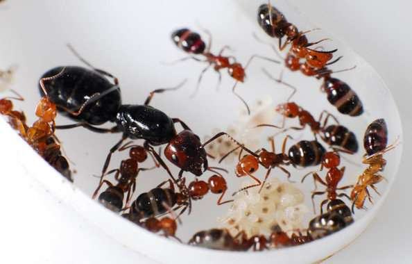 How different ant species coexist in the same territory