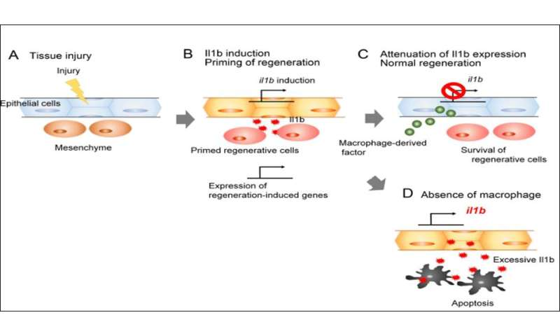Inflammation in regeneration: A friend or foe?