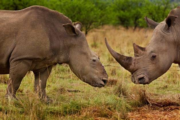 Is it a rhino? New DNA test identifies horns quicker to catch poachers